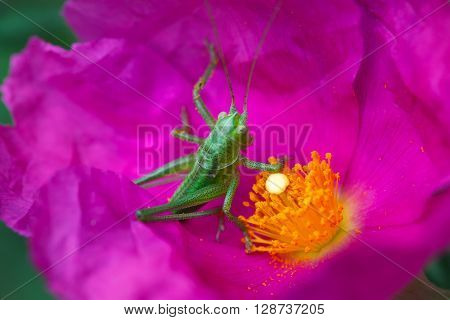 Small grasshopper in a pink and yellow flower