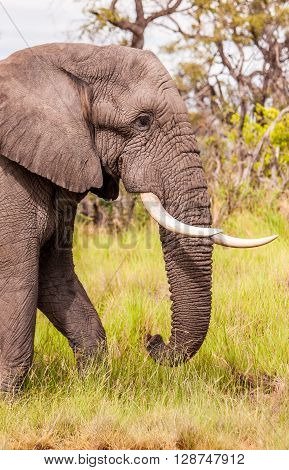 Close up of a Large wild African Elephant