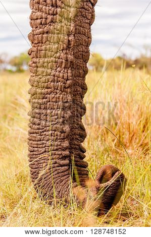 Close up of a wild African elephants trunk
