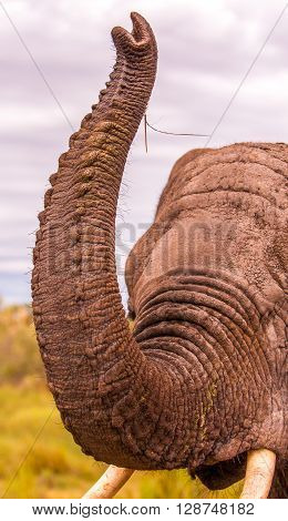 Close up of a Wild African Elephant lifting its trunk