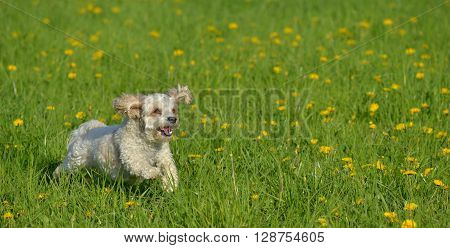 small white dog plays on dandelion meadow