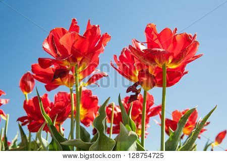 Dutch field with blooming red tulips and a blue sky