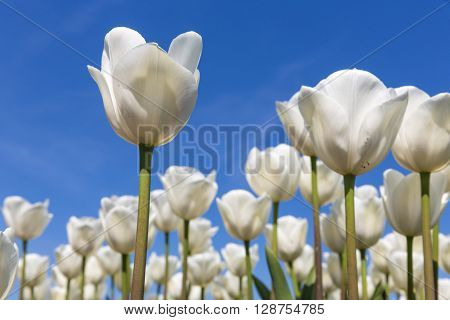 Dutch field with blooming white tulips and a blue sky one tulip is isolated.