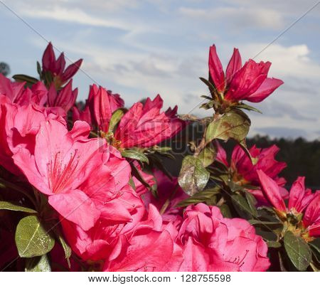 Deep pink flowers on an azalea in the early spring