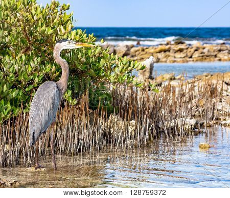 A big heron hidden in a cane thicket deep in the caribbean