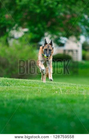Old purebred German Shepherd Dog outside in grass. Summertime.
