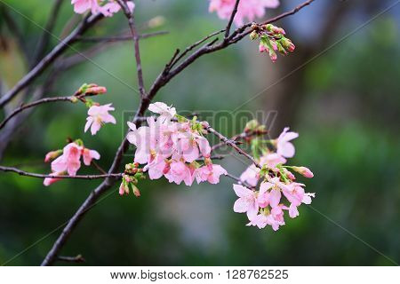 Cherry Blossom Season,  Hong Kong Tko