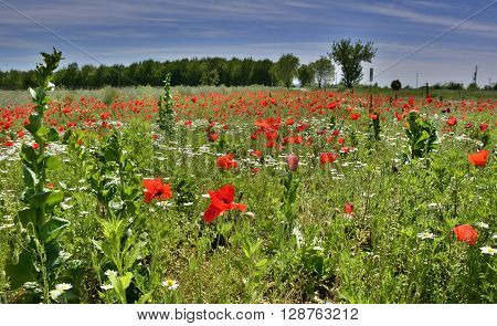 A fallow field full of wild poppies other flowers and grasses in late April outside Cividale del Friuli in Italy