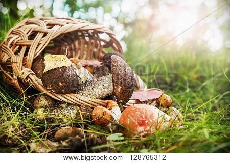 harvest brown cap boletus in a basket. Focus on boletus mushroom in a basket