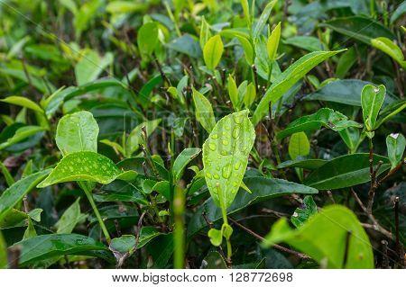 Close-up Fresh Tea Leaves On Tea Bushes In A Plantation