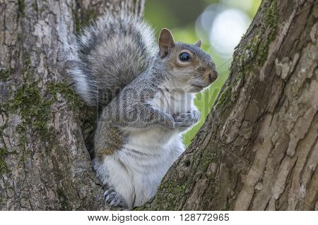 Gray squirrel sitting in between tree branches