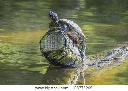 Terrapin sitting on a log taking in the morning sun