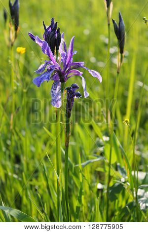 Wild blue iris flowers on the meadow ** Note: Soft Focus at 100%, best at smaller sizes