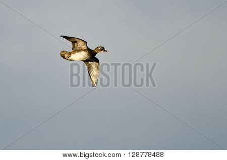 Female Wood Duck Flying in a Blue Sky ** Note: Soft Focus at 100%, best at smaller sizes