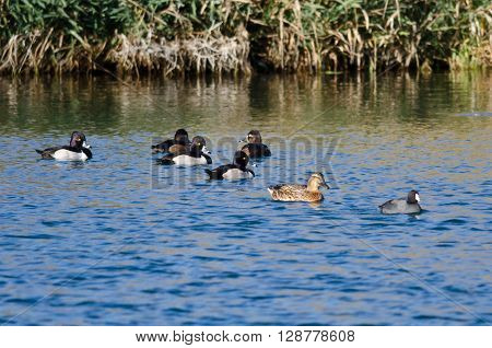 Flock of Ring-Necked Ducks Resting on the Blue Water
