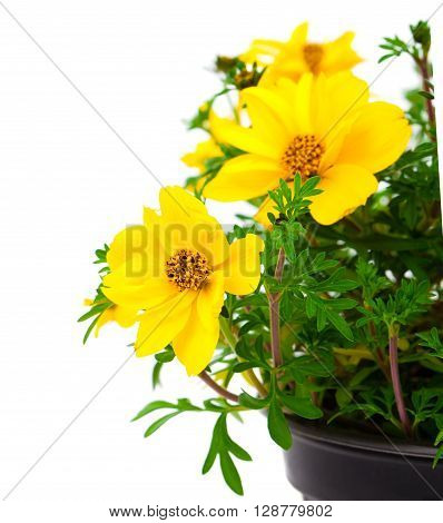 yellow flowers Goldmarie or Bidens ferulifolia or Bidens Goldilocks in a pot on white background