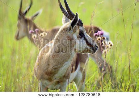 Springboks grazing in the morning at Reitvlei