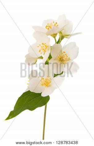 jasmine on a white background, isolated, jasmine,