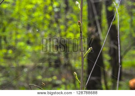 spider wove its web of between branches in spring wood
