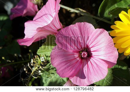 A rose mallow flower (Lavatera trimestris) blooms in the Wildflower Park in Naperville, Illinois during November.