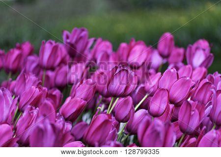 Closeup shot of beautiful fuchsia colored tulips