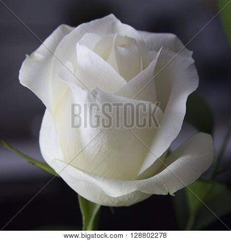 Beautiful white rose severed and natural light