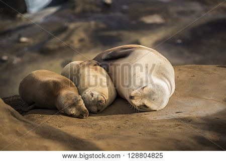 Family of three light, small sea lions sleeping in the sun on a rocky beach in San Diego, California  in La Jolla cove
