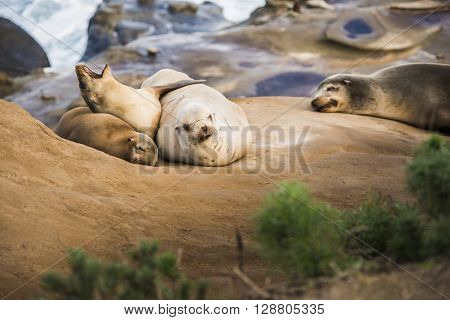 Family of four light, small sea lions yawning and sleeping in the sun on a rocky beach in San Diego, California with plant foreground  in La Jolla cove