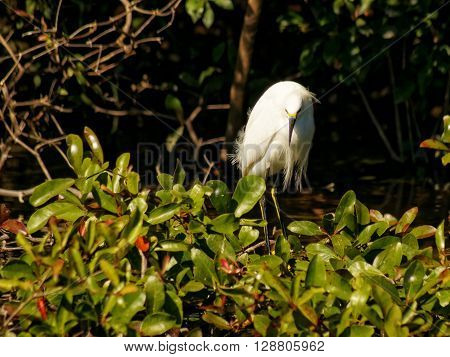 Frontal view of Snowy Egret looking down