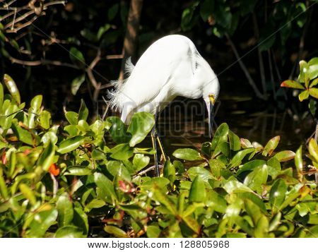 Snowy Egret in profile bent over looking down