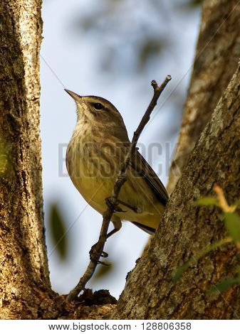 Tiny migratory Palm Warbler in Florida for winter perched on a branch with chest puffed out