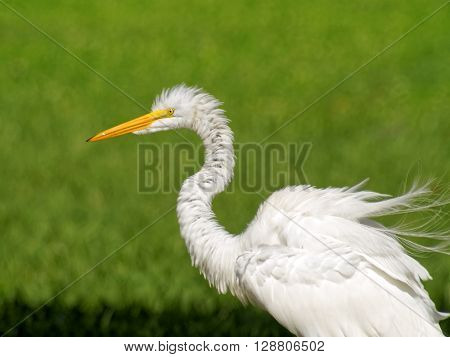White Great Egret bird yellow eyes orange beak feathers all ruffled with blurred green background