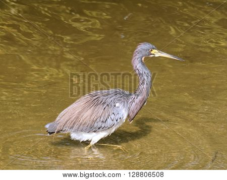 Tricolored Heron wading in water of lake in Florida