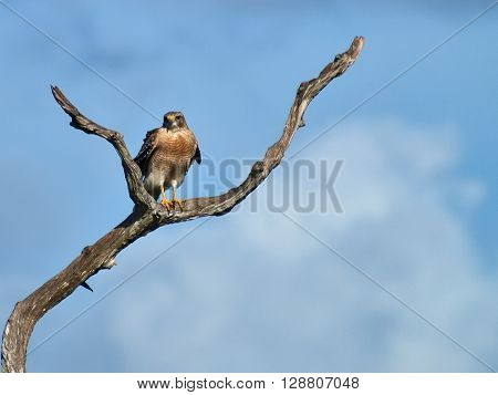 Red Shouldered Hawk perched on dead tree