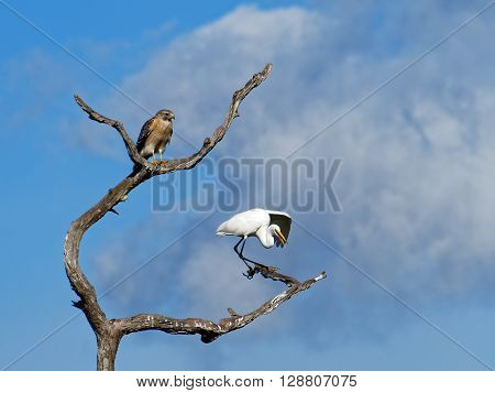 Red Shouldered Hawk observing squawking Great Egret with outstretched wing