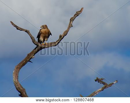Frontal View of Red Shouldered Hawk perched on a dead tree with its head turned looking to its right