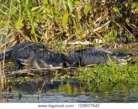 Pair of American Alligators on marshy land near water in Florida Wetlands