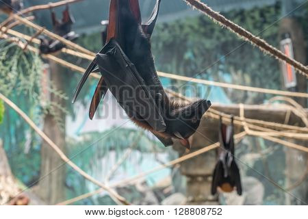 Malayan Bat (pteropus Vampyrus) Hanging On A Rope
