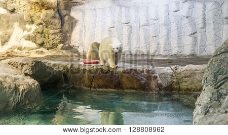 Couple Of Polar Bear (also Known As Thalarctos Maritimus)