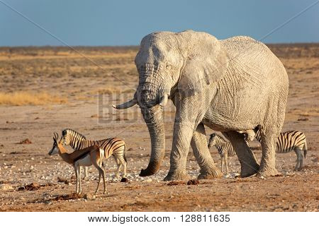 Large African elephant (Loxodonta africana) bull covered in mud, Etosha National Park, Namibia