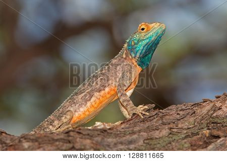 Male ground agama (Agama aculeata) in bright breeding colors, Kalahari desert, South Africa