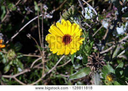 A marigold flower (Calendula sp) blooms during November in the Wildflower Park of Naperville, Illinois.