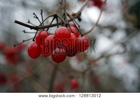 A cluster of red berries clings to a highbush cranberry bush (Viburnum trilobum), also called the American cranberry, in Harbor Springs, Michigan during December.