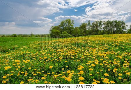 May landscape with field of blossoming dandelions and trees