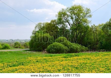 May landscape with field of blossoming dandelions and shrubs