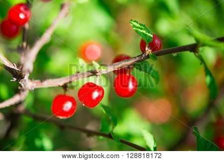 small cherries growing on the bush, cluster, fruit,