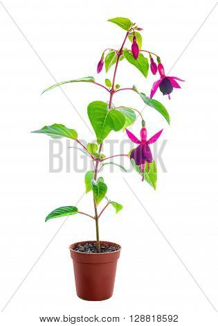 blooming red fuchsia flower in pot is isolated on white background, close up