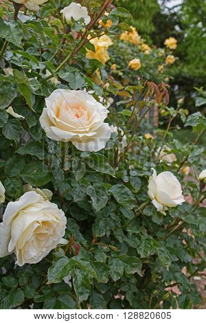 Beautiful tender white rose in garden. Love and Tenderness concept
