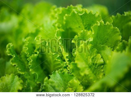 lettuce growing in the garden line, leaf, growing,