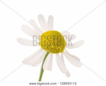 Medical Chamomile isolated on white backgroundlower, fragment, fresh,